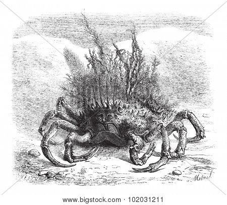 The Maia: female spider crab, covered with moss and seaweed; quarter of the size, vintage engraved illustration. Magasin Pittoresque 1875.