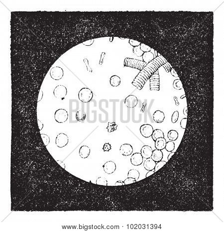 Red blood cells of man (7 to 8 thousandths of a mm), red cells or Red blood corpuscles, haematids, erythroid cells vintage illustration. Dictionary of words and things - Larive and Fleury - 1895.