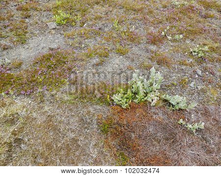 Vegetation In Iceland
