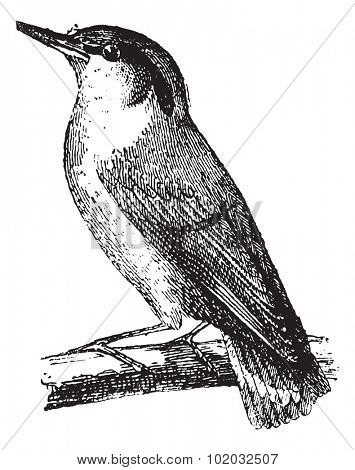 Old engraved illustration of Nuthatch or Sitta waiting on a branch.  Dictionary of words and things - Larive and Fleury - 1895