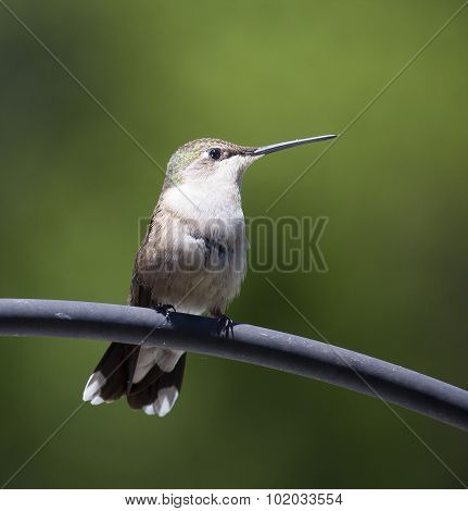 Hummingbird On A Perch