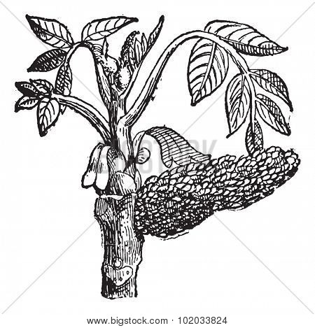 Walnut Juglans, vintage engraved illustration. Dictionary of words and things - Larive and Fleury - 1895.
