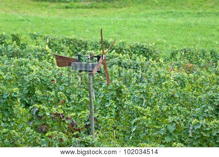 Wind Rattle In Vineyard