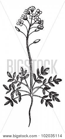 Field Pepperweed or Lepidium campestre, vintage engraved illustration. Dictionary of Words and Things - Larive and Fleury - 1895