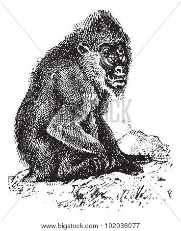 Mandrill or mandrill Mandrillus sphinx, vintage engraved illustration. Dictionary of Words and Things - Larive and Fleury - 1895