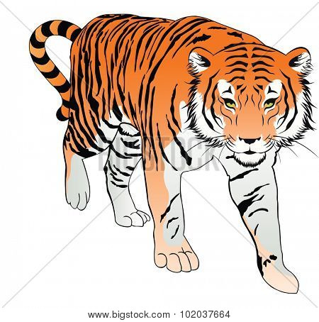 Tiger, Orange, Black and White, vector illustration