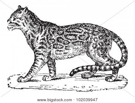 Ocelot or Dwarf Leopard or Leopardus pardalis, vintage engraved illustration. Dictionary of Words and Things - Larive and Fleury - 1895
