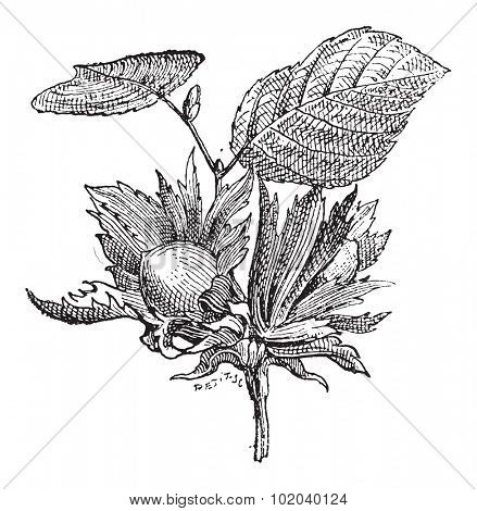 Hazel or Corylus sp., showing flowers with nuts, vintage engraved illustration. Dictionary of Words and Things - Larive and Fleury - 1895