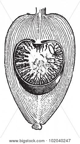 Areca Nut or Areca catechu, showing nut cross-section, vintage engraved illustration. Dictionary of Words and Things - Larive and Fleury - 1895