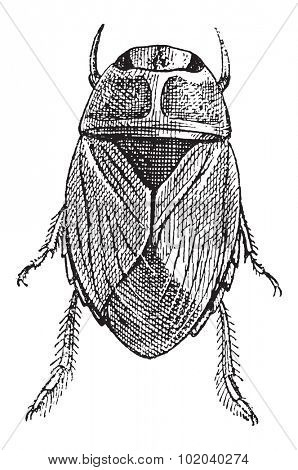 Creeping Water Bug or Naucoridae, vintage engraved illustration. Dictionary of Words and Things - Larive and Fleury - 1895