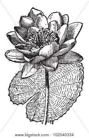 White Lotus or Nymphaea alba, showing flower, vintage engraved illustration. Dictionary of Words and Things - Larive and Fleury - 1895