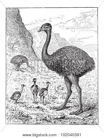 Greater Rhea or Rhea americana, showing adult bird and hatchlings, vintage engraved illustration. Dictionary of Words and Things - Larive and Fleury - 1895