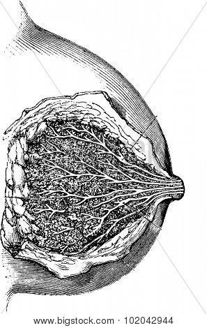 Mamary gland, vintage engraved illustration. Usual Medicine Dictionary - Paul Labarthe - 1885.