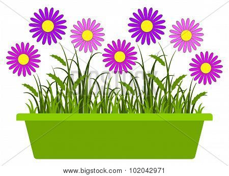 Pink Daisies In Planter