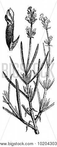 Lavender or Lavandula spica, showing flowers, vintage engraved illustration. Usual Medicine Dictionary by Dr Labarthe - 1885