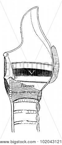 Median Section of the Larynx, vintage engraved illustration. Usual Medicine Dictionary by Dr Labarthe - 1885
