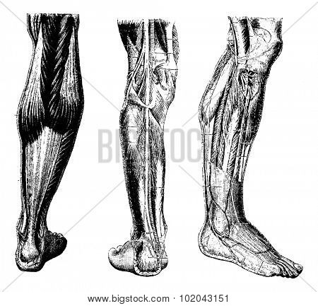 Human Leg, showing posterior surface (left), deep posterior region (middle), and deep anterior region(right), vintage engraved illustration. Usual Medicine Dictionary by Dr Labarthe - 1885