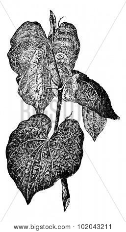 Kava or Piper methysticum, showing leaves, vintage engraved illustration. Usual Medicine Dictionary by Dr Labarthe - 1885
