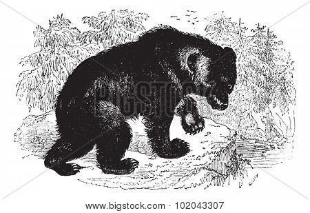 Aggressive Bear in forest, vintage engraved illustration. Animaux Sauvages et Domestiques - For kids - 1892.
