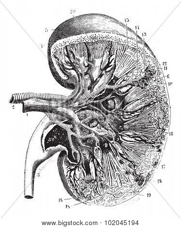 Kidney section, vintage engraved illustration. Usual Medicine Dictionary by Dr Labarthe - 1885.