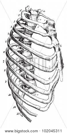 Sternum, vintage engraved illustration. Usual Medicine Dictionary by Dr Labarthe - 1885.