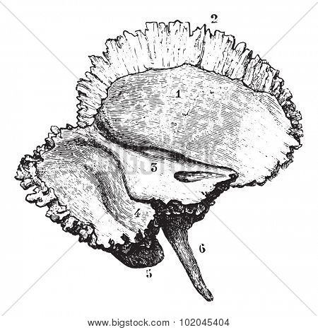 Left temporal bone, vintage engraved illustration. Usual Medicine Dictionary by Dr Labarthe - 1885.