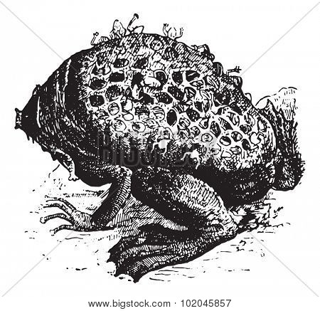 Pipa Pipa or Surinam Toad or star-fingered toad, vintage engraved illustration. Dictionary of words and things - Larive and Fleury - 1895.