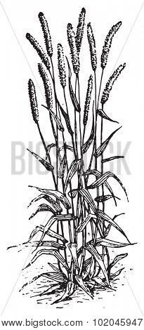 Timothy-grass or Phleum pratense or Timothy or Meadow cat's-tail or Common cat's tail, vintage engraved illustration. Dictionary of words and things - Larive and Fleury - 1895.