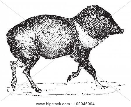 Peccary or Javelina or Skunk pig, vintage engraved illustration. Dictionary of words and things - Larive and Fleury - 1895.