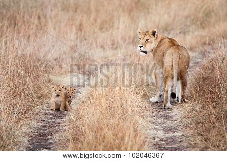 Lioness With A Couple Of Young Cubs