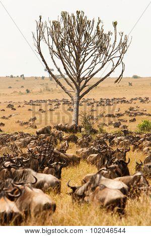 Herd Of Wildebeest Grazing Together In African Savanna