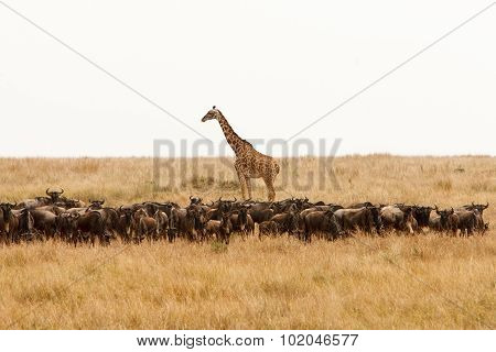 Giraffe And A Herd Of Wildebeest In Dry African Savanna