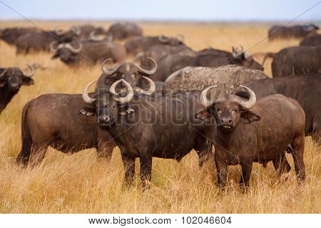 African Cape Buffaloes Grazing In African Savanna