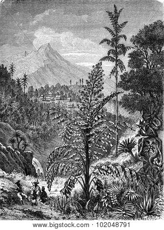 Palm caryotas, vintage engraved illustration. Le Tour du Monde, Travel Journal, (1872).
