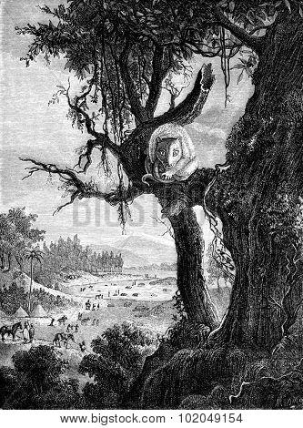 Phalanger orientalis (Phalangista cavifrons), Timor, vintage engraved illustration. Le Tour du Monde, Travel Journal, (1872).