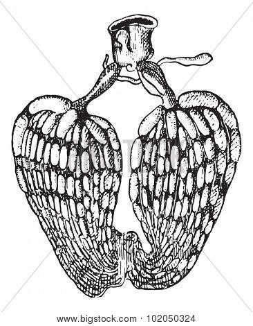 Ovarian insect, vintage engraved illustration. Dictionary of words and things - Larive and Fleury - 1895.