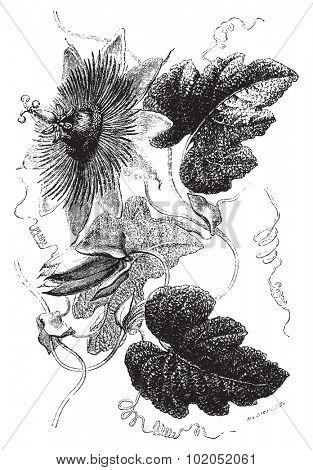 Passiflora crispa suaveolens, vintage engraved illustration. Le Tour du Monde, Travel Journal, (1872).