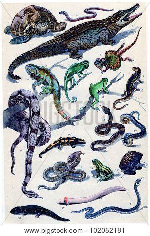 Amphibian and reptile, vintage engraved illustration. From La Vie dans la nature, 1890.