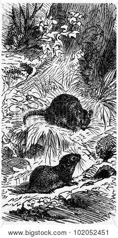 Field mouse and his house, vintage engraved illustration. La Vie dans la nature, 1890.