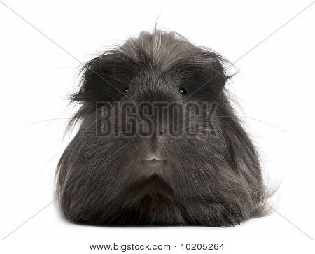 Peruvian Guinea Pig, Cavia Porcellus, Lying In Front Of White Background