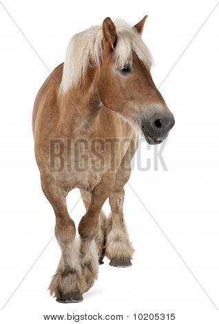 Belgische Pferd, belgische schwere Pferd, Brabancon, einen Entwurf Pferd Rasse, 10 Jahre alt, stehen im Vordergrund