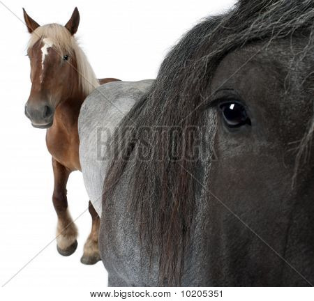 Close-up Of Belgian Horse, Close-up Of Belgian Heavy Horse, Brabancon, A Draft Horse Breed, Standing