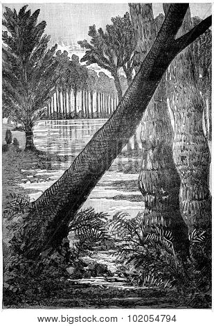 The giant trees of the Carboniferous period. Sigillaires, lepidodendrons ferns, vintage engraved illustration. Earth before man 1886.