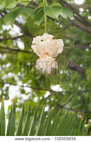 White Baobab flower (Adansonia digitata), rainy season