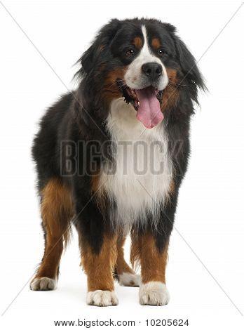 Berner Sennenhund, 3 Jahre alt, vor weißem Hintergrund stehend