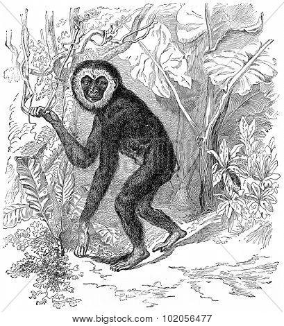 Gibbon, vintage engraved illustration. Earth before man  1886.