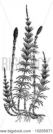 Equisetum sylvaticum (horsetail), vintage engraved illustration. Earth before man - 1886.