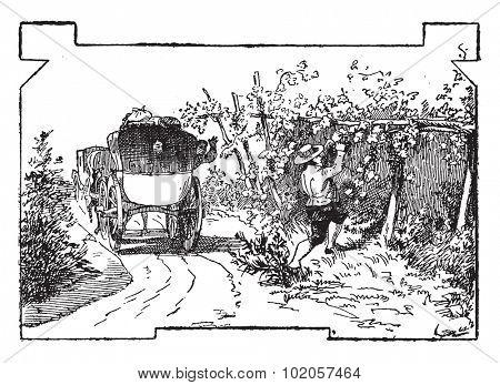 Check stealing grapes, vintage engraved illustration.