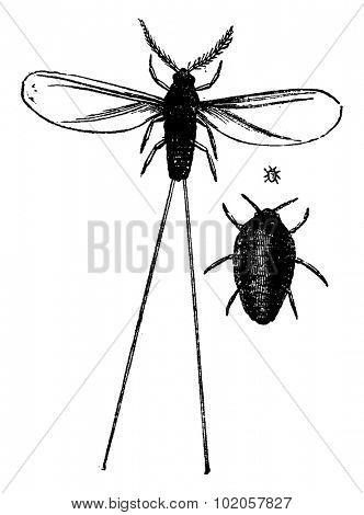 Cochineal male and female, vintage engraved illustration. La Vie dans la nature, 1890.