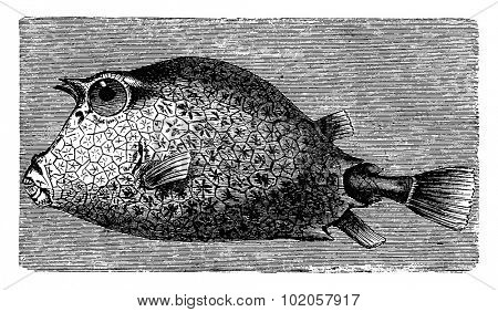 Trunkfish, vintage engraved illustration. La Vie dans la nature, 1890.